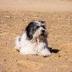 Ida – Polski Owczarek Nizinny / PON / Polish Lowland Sheepdog