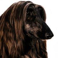 Hodowla psów – Chart Afgański / Afghan Hound - Szczenięta Yvette Dobroczek