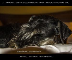 Sznaucer Miniaturowy / Miniature Schnauzer ZOE śpi w Hotelu