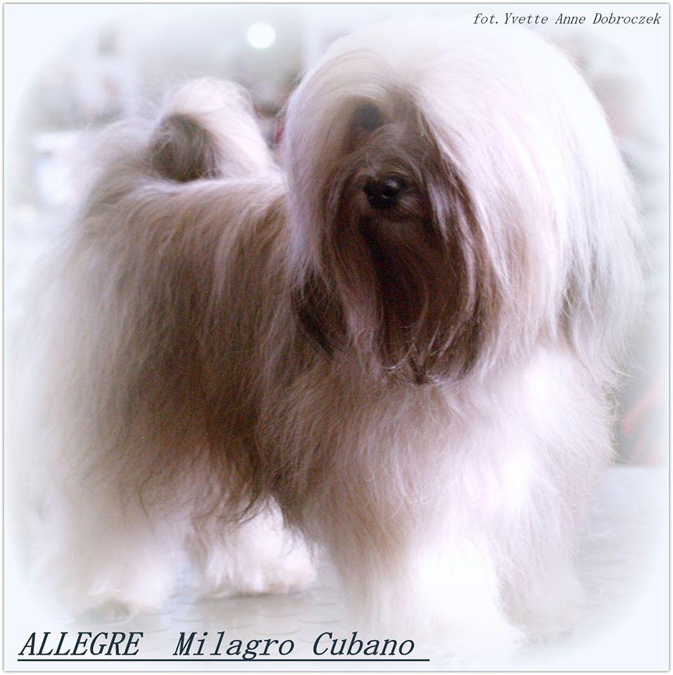Hawańczyk ALEGRE Milagro Cubano - osiągnięcia w roku 2014 - Szczenięta Yvette Dobroczek