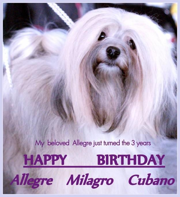 Świętujemy 3 urodzinki naszej pięknej Havanesse ALEGRE Milagro Cubano :) - Szczenięta Yvette Dobroczek