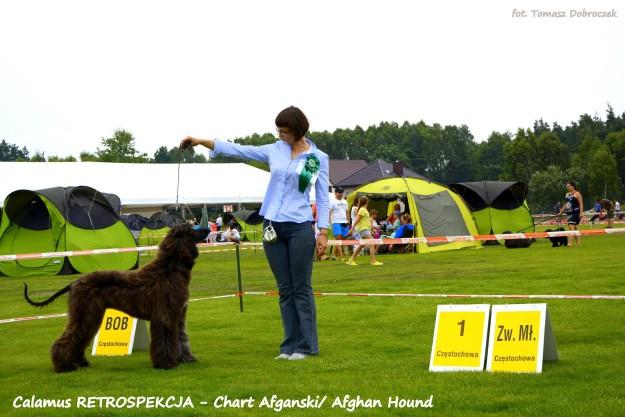 Chart Afgański Calamus RETROSPEKCJA - Najlepszy Junior w Rasie Zwycięzca Młodzieży na Międzynarodowej Wystawie Psów w Częstochowie 2015 - Szczenięta Yvette Dobroczek