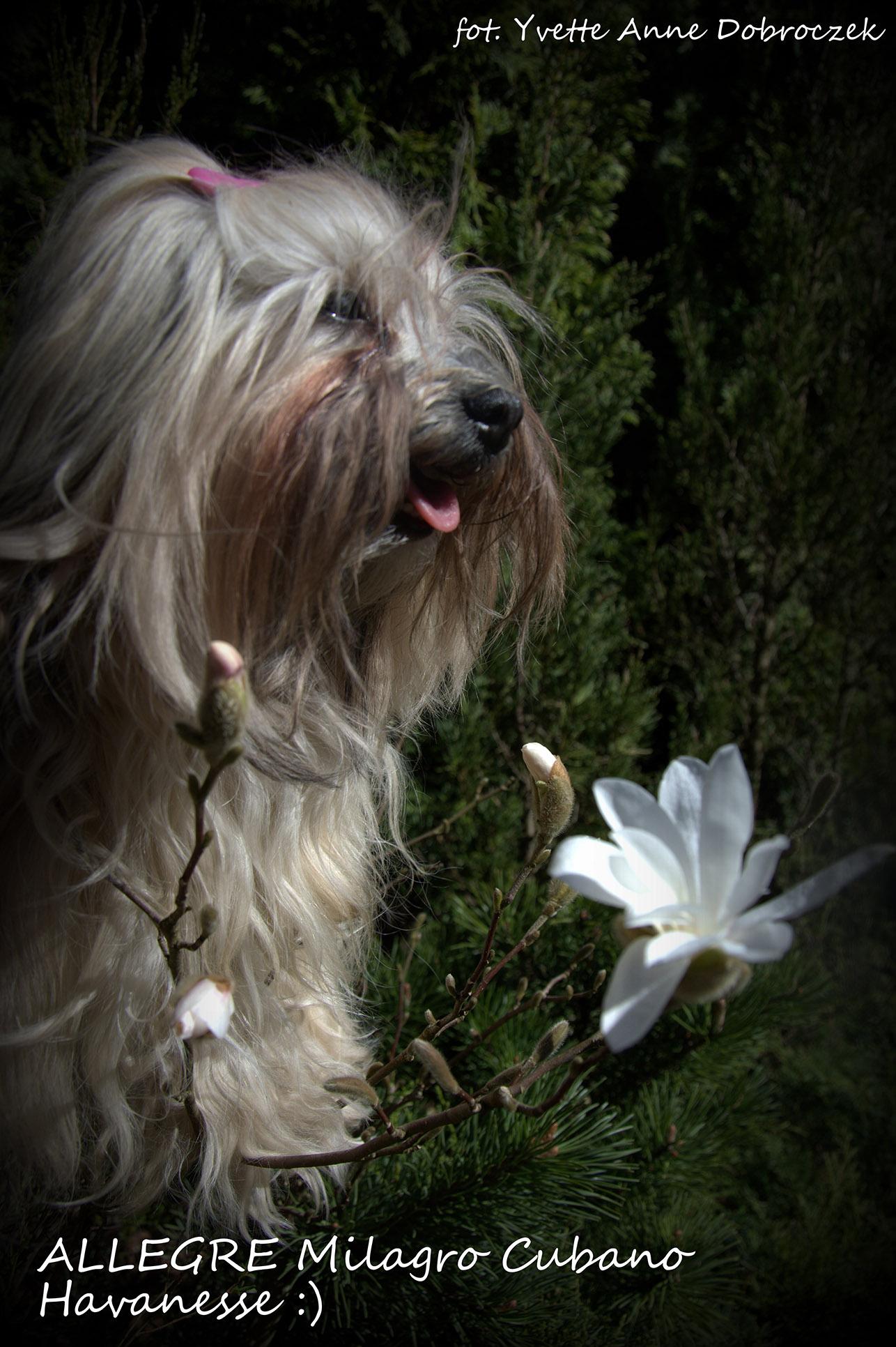 Hawańczyk w kwiatach magnolii :) - Szczenięta Yvette Dobroczek