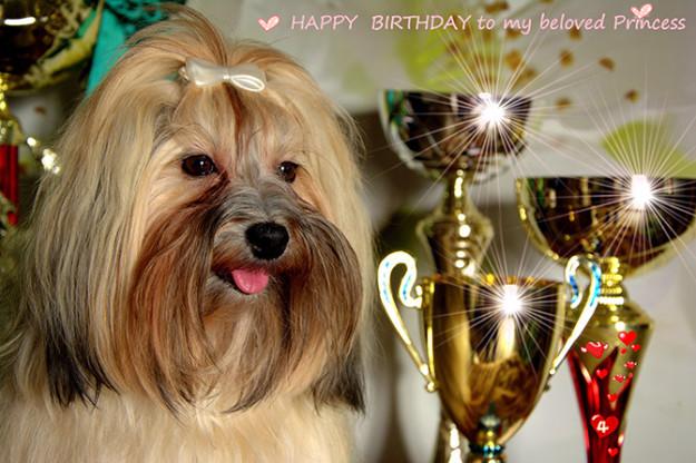 Dziś świętujemy czwarte urodzinki ALEGRE Milagro Cubano - naszego kochanego hawańczyka :) - Szczenięta Yvette Dobroczek