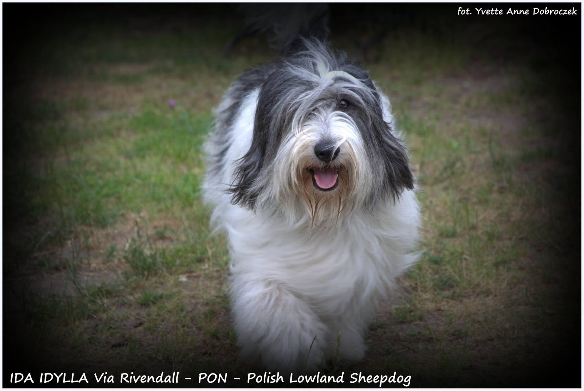 Radosny PON - rozwiany włos, uśmiech na pyszczku czyli IDA na spacerze :) - Szczenięta Yvette Dobroczek