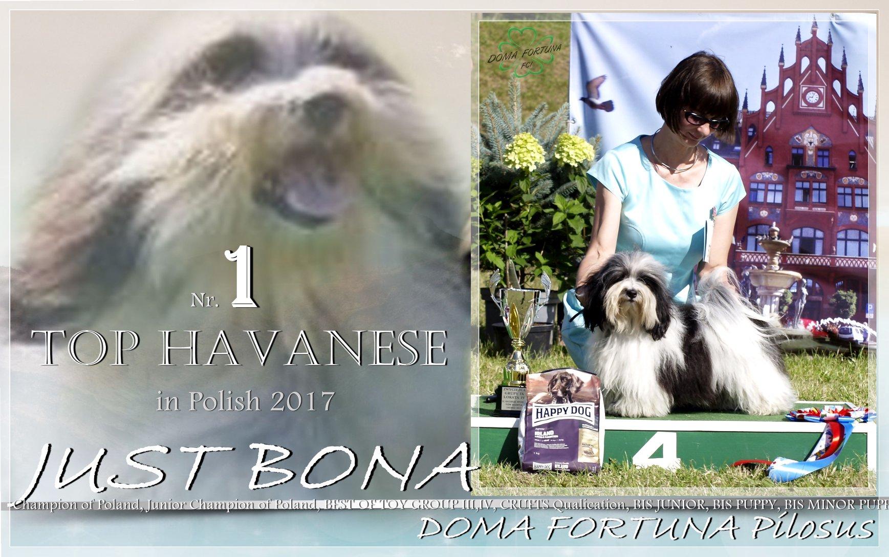 Bona – Hawańczyk / Havanesse / Biszon Hawański - Szczenięta Yvette Dobroczek