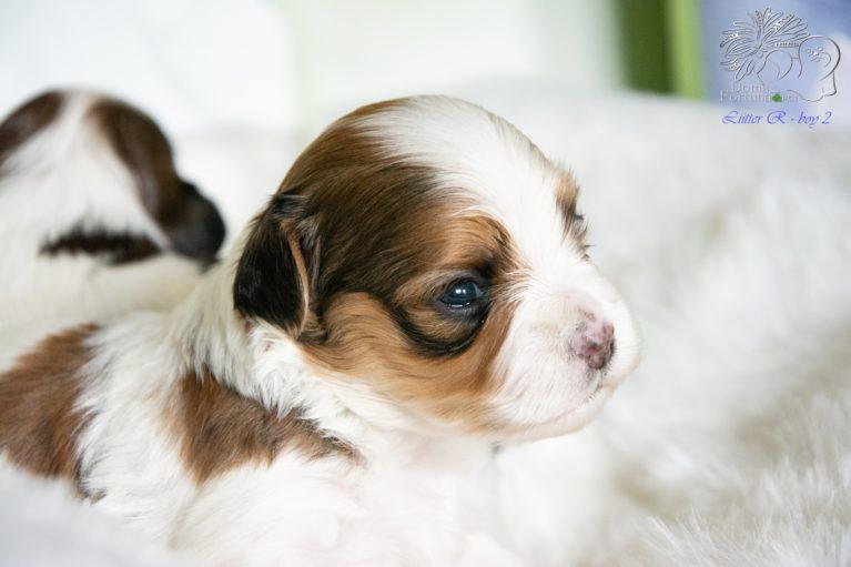 hawańczyk pies 2,5 tygodnia