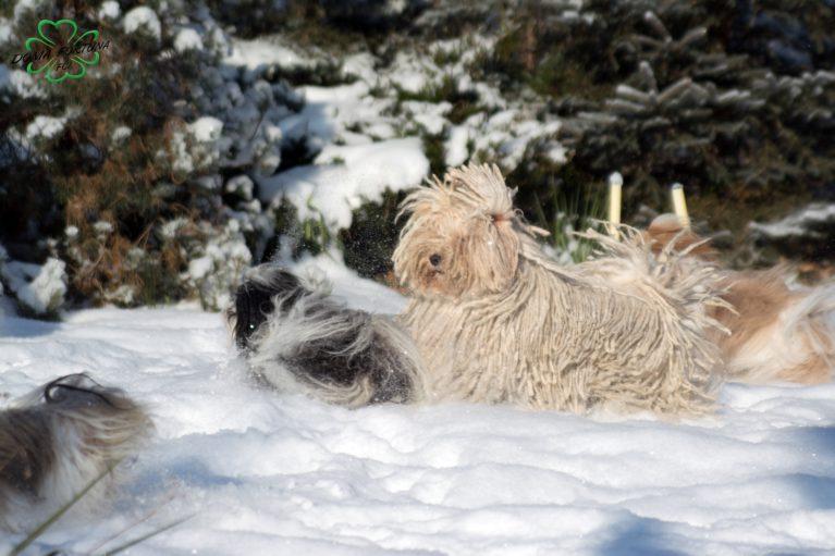 Bona hawańczyk w śniegu