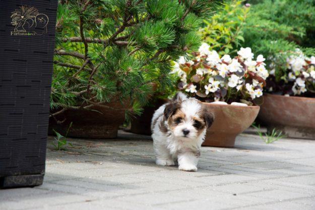 Doma Fortuna FCI RUBINO REGIANTE havanese puppy hawańczyk szczenię
