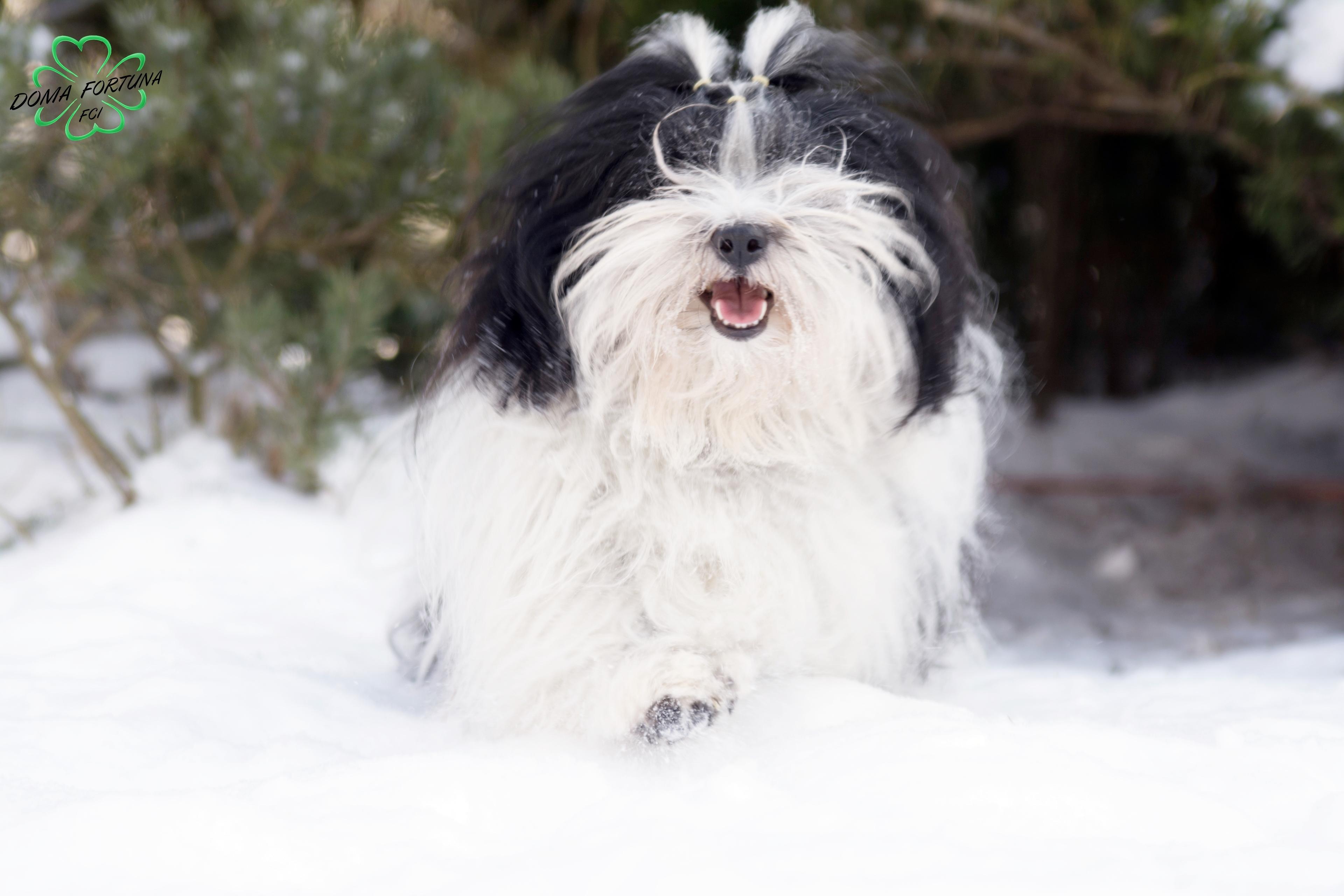 Śniegowy kamuflaż hawańczyka