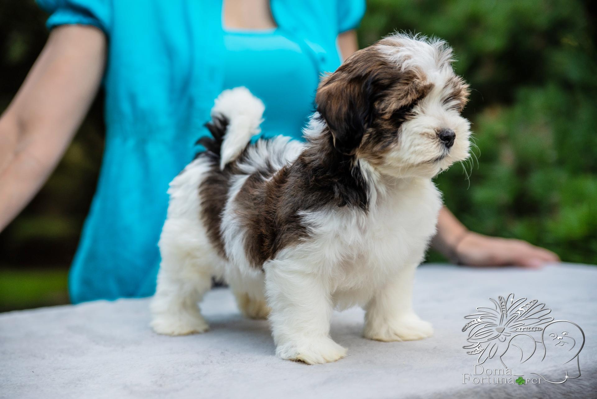 Doma Fortuna FCI RE DEL RITMO havanese puppy hawańczyk szczenię