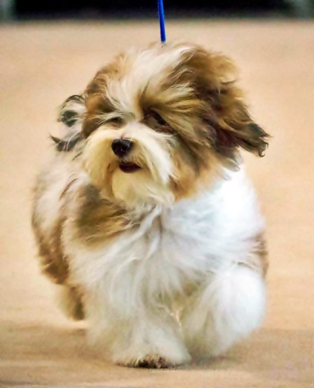 Show havanese puppy Doma Foruna FCI Poland