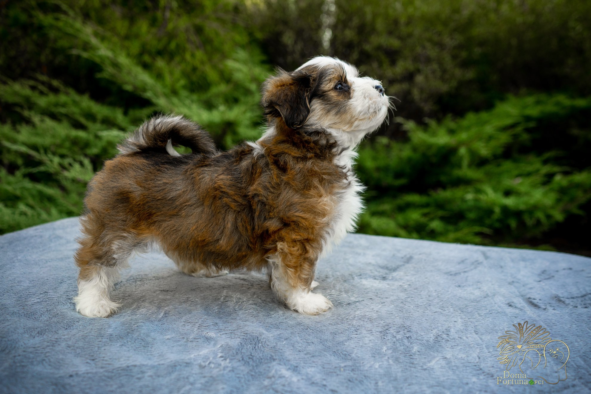 Very prominsing havanese puppy for show Doma fortuna FCI litter M