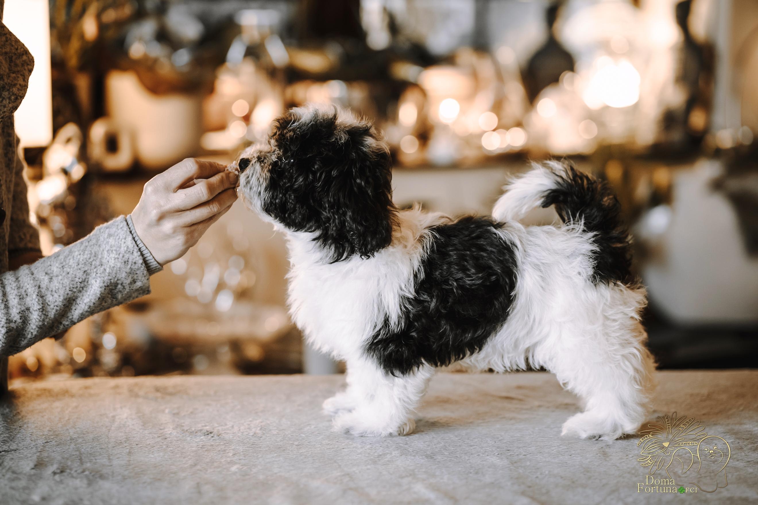 drobniutka dziewczynka , uszko - FELICE FESTA - Miot F Hawańczyki szczenięta