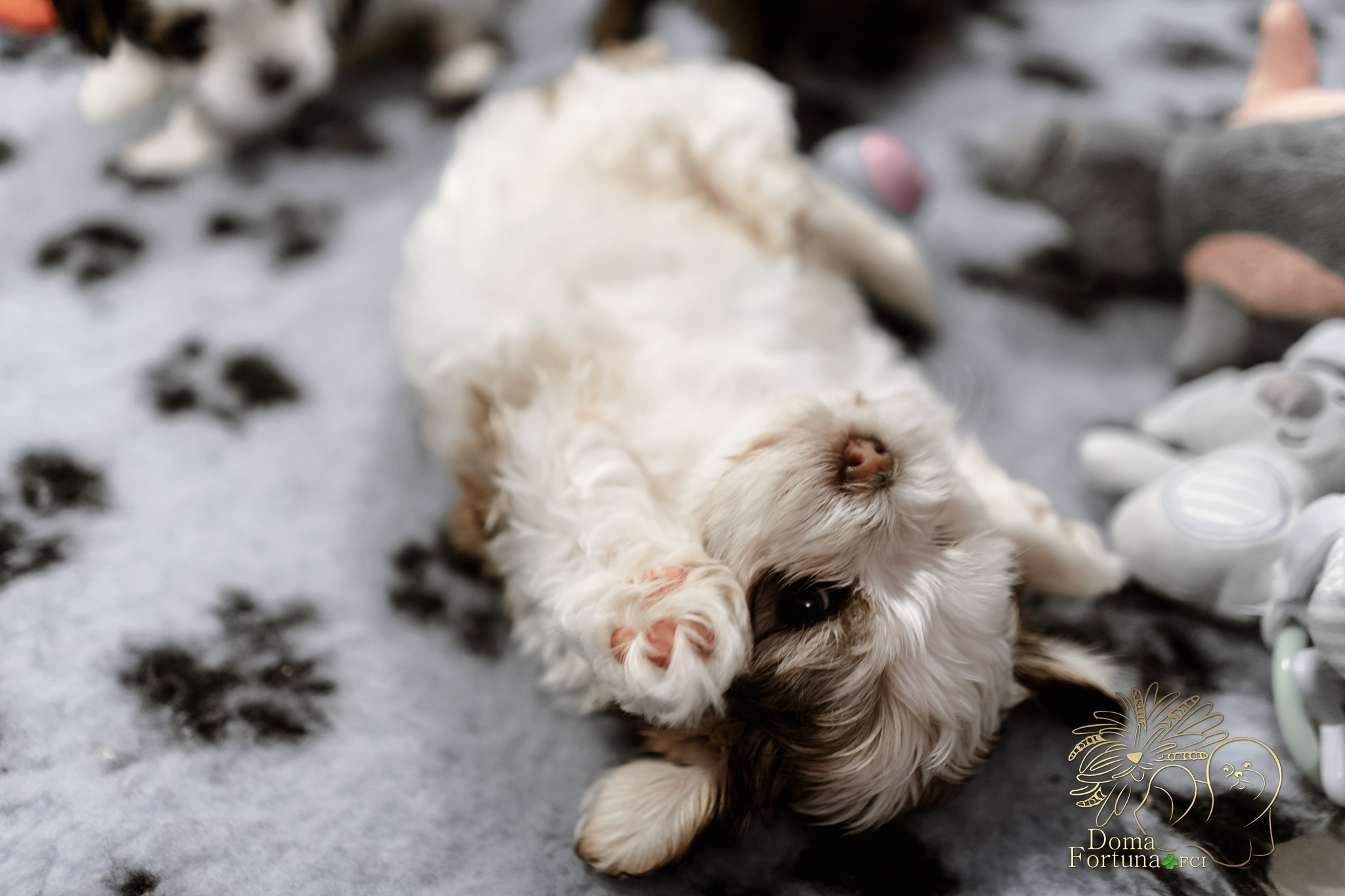 Havanese puppy Doma Foruna FCI