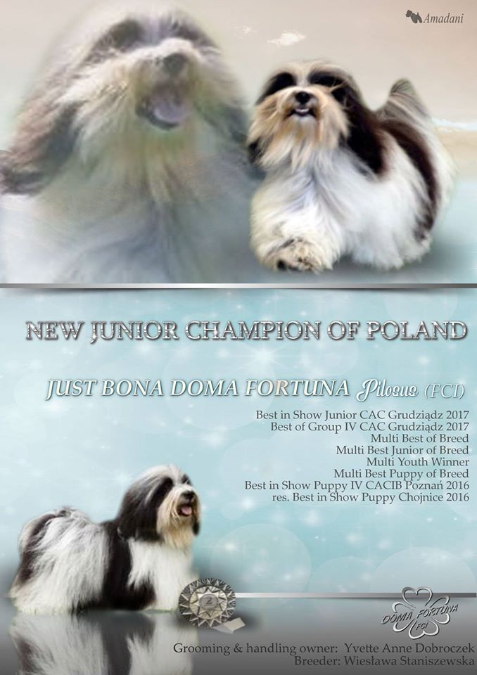 JUST BONA DOMA FORTUNA FCI hawańczyk z naszej hodowli młodzieżowym championem Polski