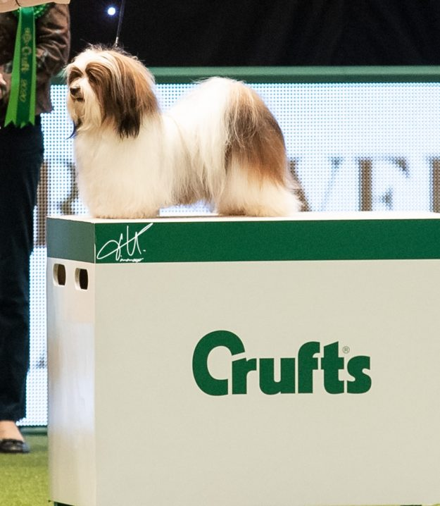 Havanese Ritmo res.Best of Toy Group CRUFTS 2020